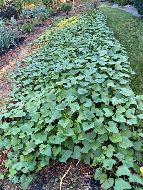 Spreading sweet potato vines