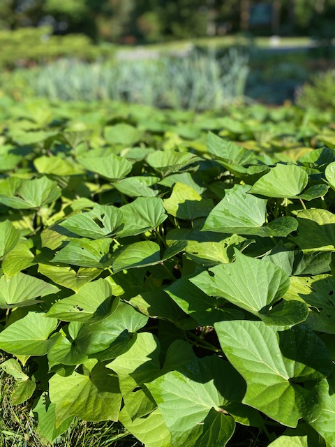 Sweet potato vines make an attractive ground cover
