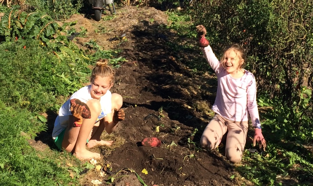 Harvesting sweet potatoes can be a lot of fun!